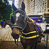 Next Chapters for NYC Carriage Horses